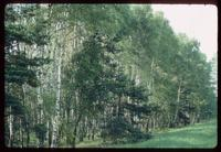 Treblinka Concentration Camp : Birch trees along the camp access road