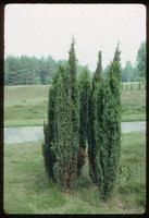 "Bergen-Belsen Concentration Camp : One of many juniper ""rings"" found on-site"