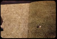Visual test plot of dye vs. no dye on Zoysia matrella turf, Pine Valley, 1953